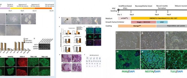 The SiSCR has recently published an article 'Dual Small-Molecule Targeting of SMAD Signaling Stimulates Human Induced Pluripotent Stem Cells toward Neural Lineages'The SiSCR has recently published an article 'Dual Small-Molecule Targeting of SMAD Signaling Stimulates Human Induced Pluripotent Stem Cells toward Neural Lineages'